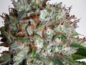 Buy Big Bud Marijuana Online UK